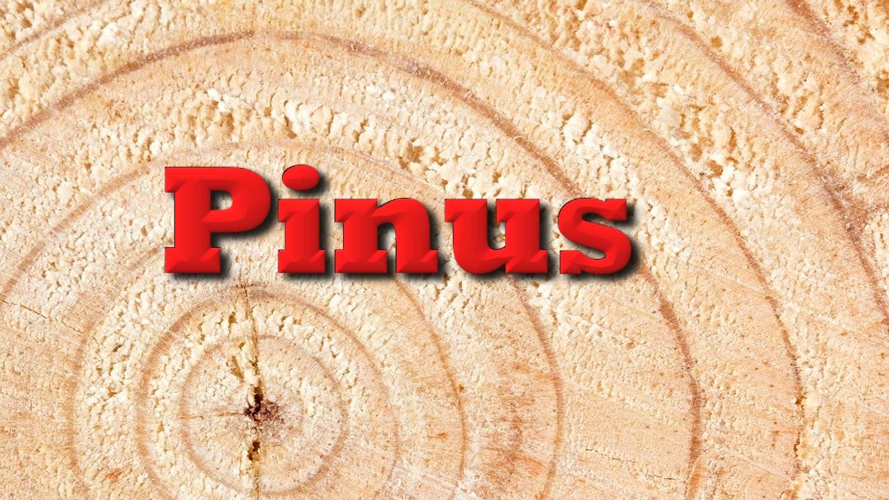 Pinus não é tudo igual
